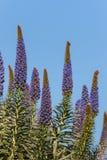 Stolz von Madeira-Blumen lizenzfreies stockbild