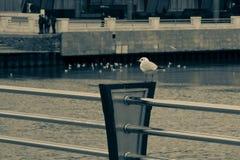 Stolze Seemöwe der Einsamkeit steht auf dem Damm auf der Hintergrundufergegend im Retrostil stockfotos