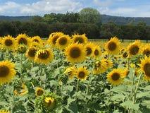 Stolze Sommer-Sonnenblumen lizenzfreies stockbild