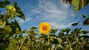 Stolze Sonnenblume Lizenzfreies Stockbild
