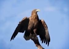Stolzer Adler auf einem Hintergrund des blauen Himmels Lizenzfreie Stockfotos