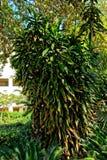 Stolzer alter Baum wie Busch mit Grünblättern und verfallenen Narben Stockfotografie