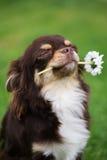 Stolzer Chihuahuahund, der eine Blume hält Stockfotografie