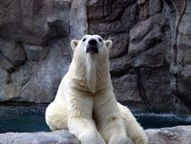 Stolzer Eisbär lizenzfreies stockfoto