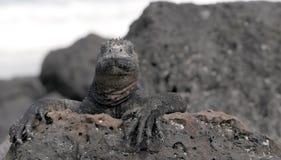 Stolzer Galapagos-Marineleguan Lizenzfreies Stockfoto