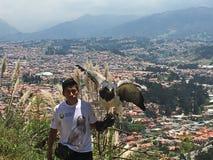 Stolzer goldener Eagle Spreads Wings, ³ Amaru Zoolà gico Bioparque Stockfotos