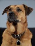 Stolzer Hund Stockbild