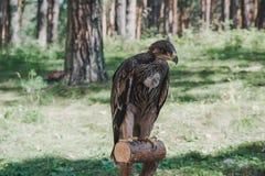 Stolzer junger Adler im Wald Stockfoto