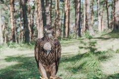 Stolzer junger Adler im Wald Stockbild