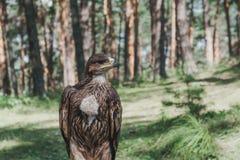 Stolzer junger Adler im Wald Lizenzfreies Stockbild