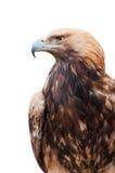 Stolzer kaukasischer Adler Stockbild