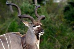 Stolzer kudu Stier Stockfoto