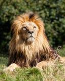 Stolzer majestätischer Löwe, der im Gras sitzt Lizenzfreie Stockfotografie