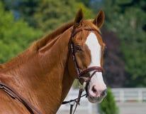 Stolzer Stallion lizenzfreie stockfotos