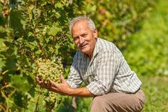 Stolzer Viticulturist, der Traubengruppe zeigt Stockfotos