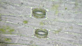 Stoma and cells of plant stock footage