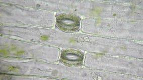 Stoma e cellule della pianta stock footage