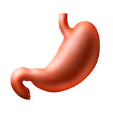 Stomach Royalty Free Stock Photo