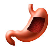 Stomach. An illustration of human stomach with inside view Stock Photos