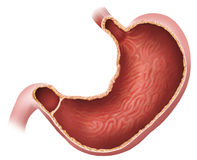 The stomach Stock Photo