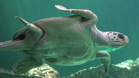 Stomach Or Belly Of Sea Turtle stock video