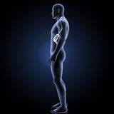 Stomach with body lateral view Royalty Free Stock Photos
