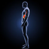 Stomach with body lateral view Stock Photos