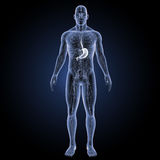 Stomach with circulatory system anterior view Stock Photos