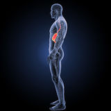 Stomach with circulatory system lateral view Royalty Free Stock Photography
