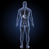 Stomach with circulatory system posterior view Stock Photography