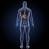Stomach with circulatory system posterior view Royalty Free Stock Images