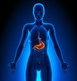 Stomach - Female Organs - Human Anatomy Royalty Free Stock Photography