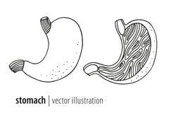 Stomach  illustration Stock Image