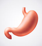 Stomach Royalty Free Stock Photography