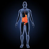 Stomach and intestine with body anterior view. The internal organ in which the major part of the digestion of food occurs, being in humans and many mammals a vector illustration