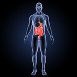Stomach and intestine with organs anterior view. The internal organ in which the major part of the digestion of food occurs, being in humans and many mammals a stock illustration
