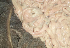 Stomach and intestine of sheep. In photo Stock Image