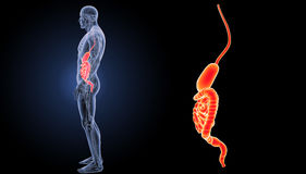 Stomach and intestine zoom with anatomy lateral view. The internal organ in which the major part of the digestion of food occurs, being in humans and many Stock Image