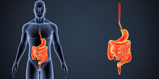 Stomach and Intestine zoom with Body Anterior view Stock Photos
