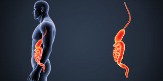 Stomach and Intestine zoom with Body Lateral view Stock Photography