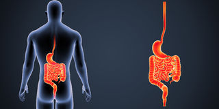 Stomach and Intestine zoom with Body Posterior view Stock Photos