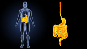 Stomach and intestine zoom with organs anterior view Royalty Free Stock Images