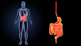 Stomach and intestine zoom with organs anterior view. The internal organ in which the major part of the digestion of food occurs, being in humans and many Royalty Free Stock Photo