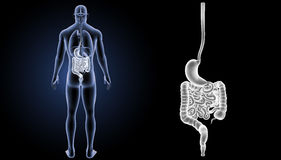 Stomach and intestine zoom with organs posterior view. The internal organ in which the major part of the digestion of food occurs, being in humans and many Stock Image
