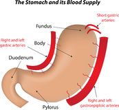 The Stomach and its Blood Supply. The stomach and the arteries that supply it Stock Photography