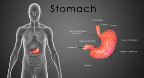 Stomach labelled Stock Photos
