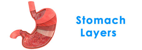 Stomach Layers Stock Images