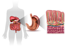 Stomach lining anatomy. Stomach wall layers detailed anatomy, and human silhouette with internal organs, beautiful colorful drawing on a white background Stock Photo
