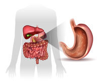 Stomach lining. Stomach cross section anatomy and surrounding organs beautiful colorful drawing Stock Image