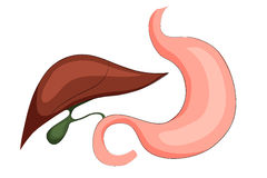 Stomach,liver and gall bladder Stock Image
